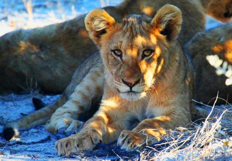 Löwe, Auswandern nach Namibia